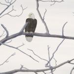 Eagle-in-Fog